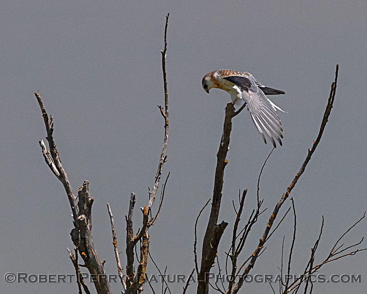 Juvenile white-tailed kite stretching its wing.