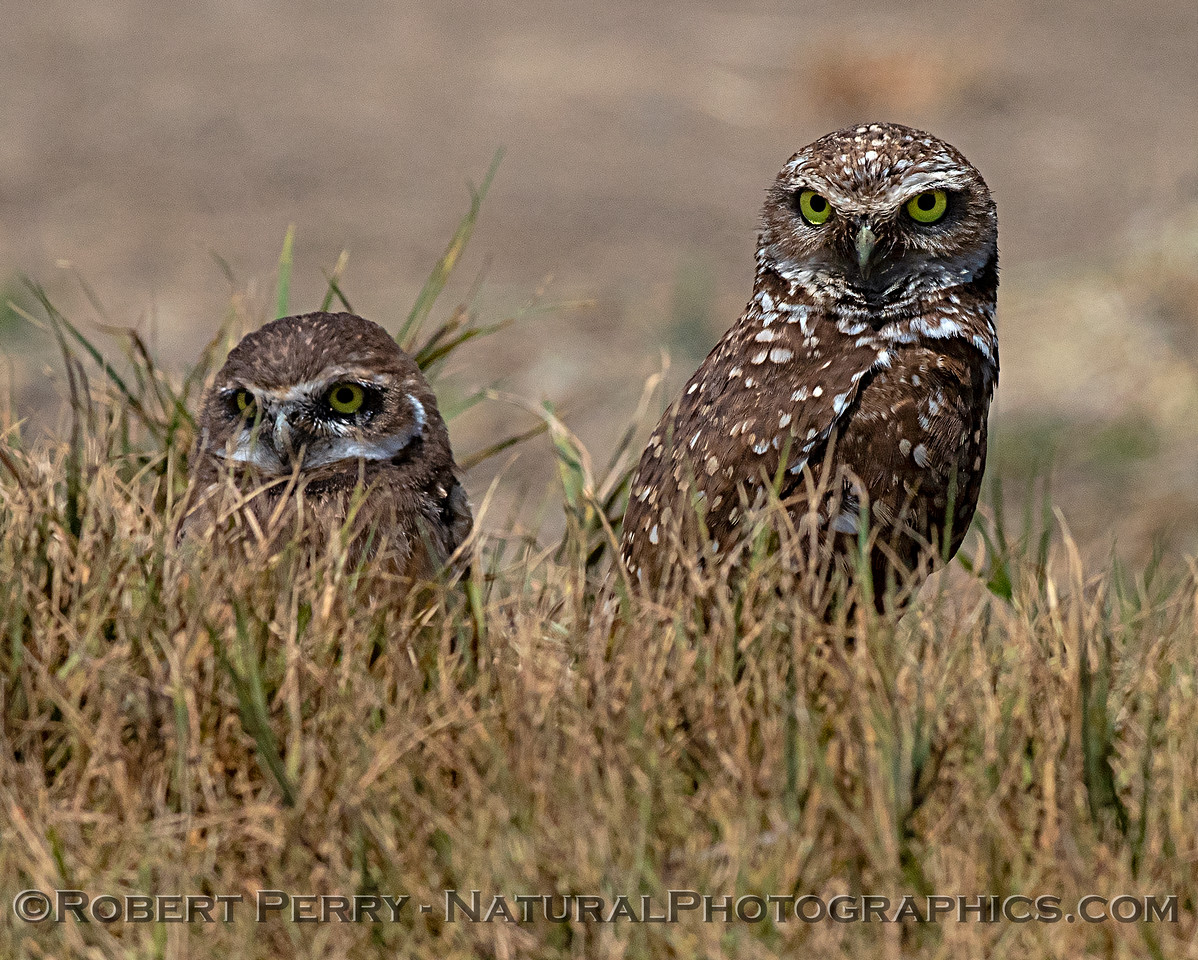 Pair of burrowing owls with juvenile on the left.