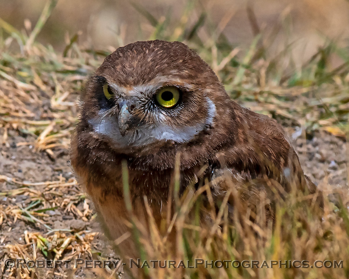 Young burrowing owl.