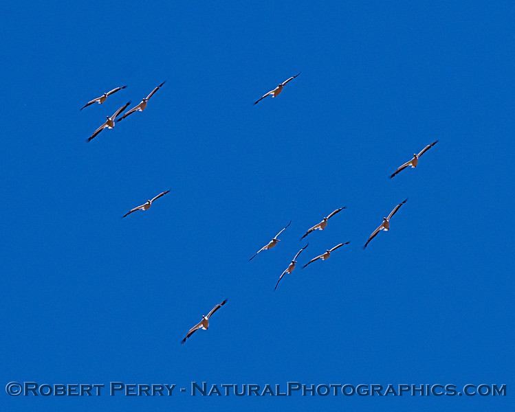 Soaring white pelicans.