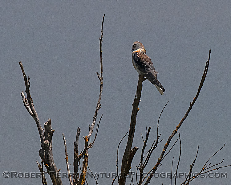 Juvenile white-tailed kite with nictitating membrane down - preening.