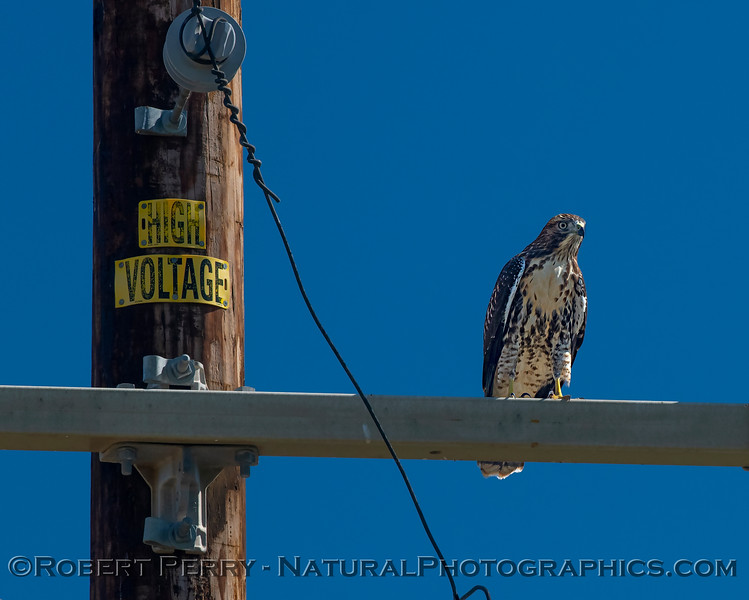 Buteo jamaicensis on telephone pole 2018 07-01 Yolo County--0002
