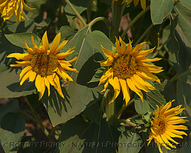 Helianthus 3 male flowers 2018 07-03 Dixon--0085