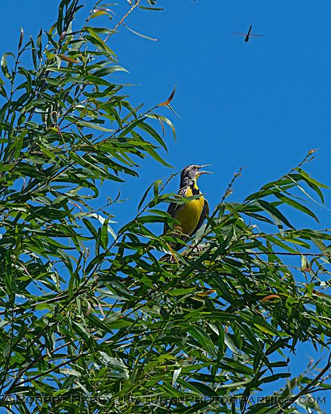 Western meadowlark sings - what else is new?