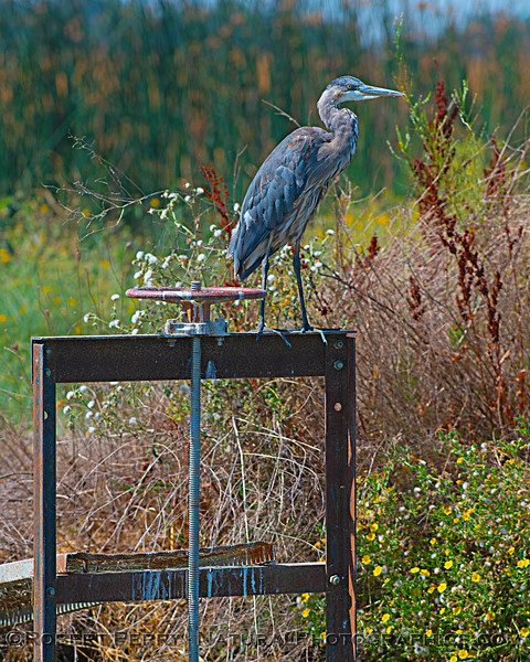 A great blue heron keeps a look out atop an irrigation control