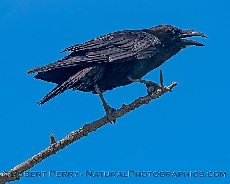Large raven