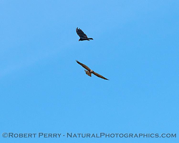 Northern harrier & turkey vulture soar together