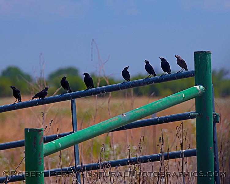 A chorus of starlings.