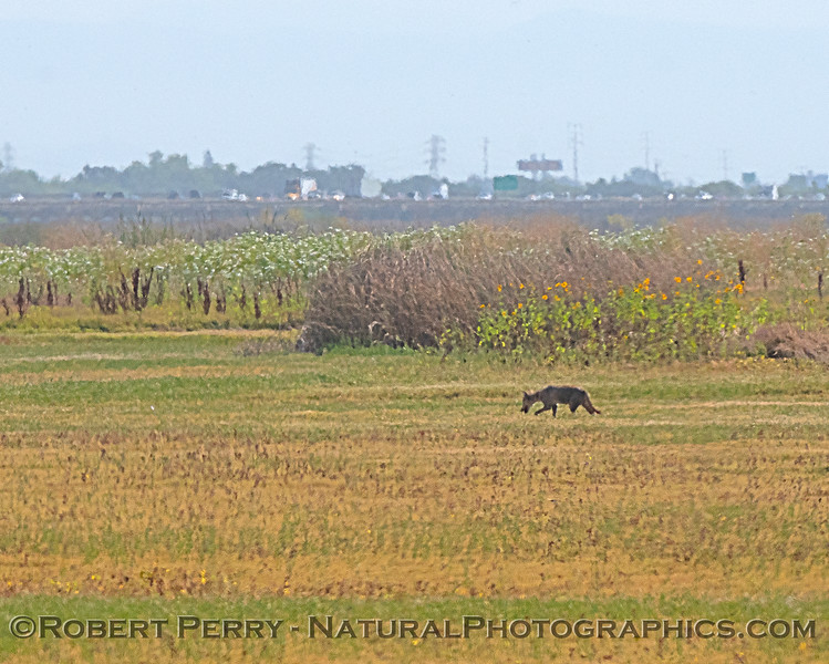 Lone coyote - note traffic on Hwy 80 in back