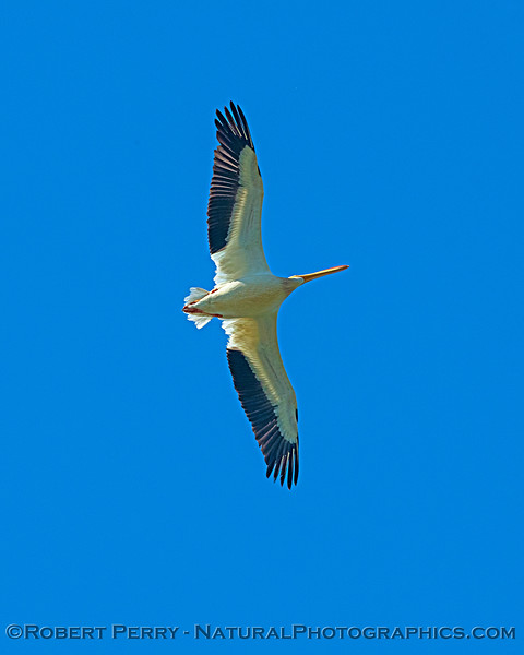 American white pelican fly-over