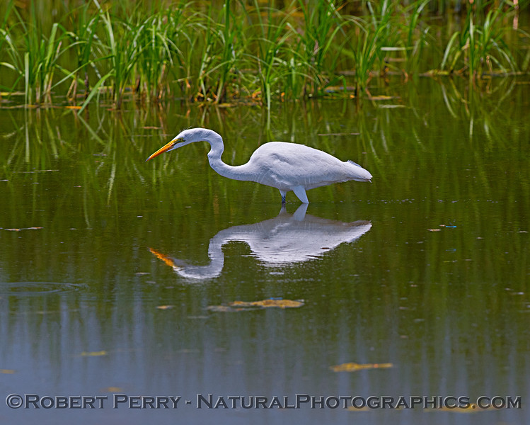 Great white egret reflecting