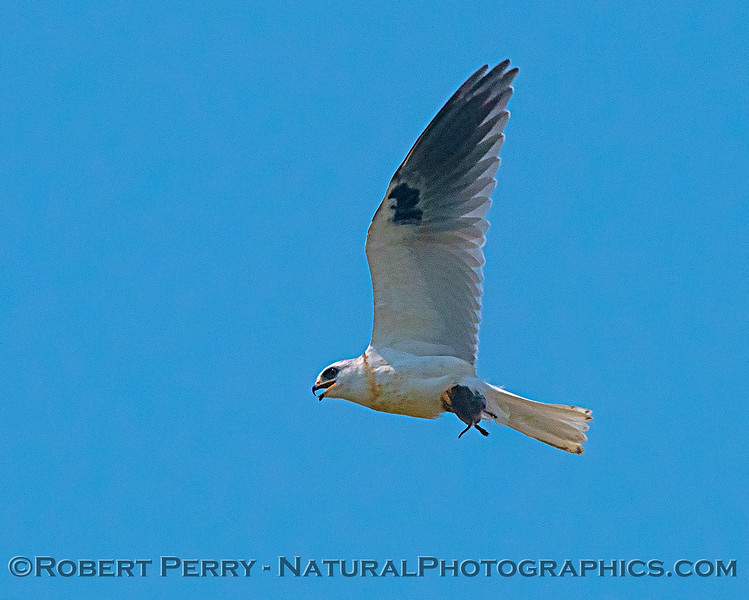 White-tailed kite feeding on a rodent.