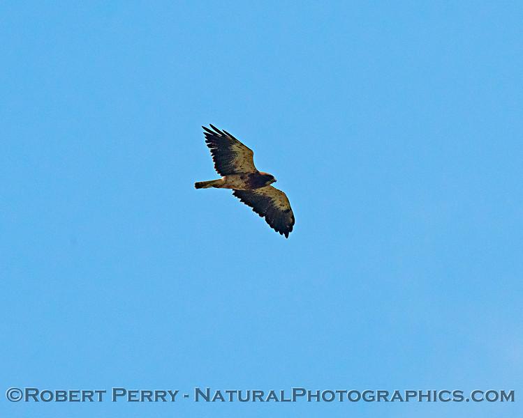 Swainson's hawk - high altitude, telephoto lens shot.
