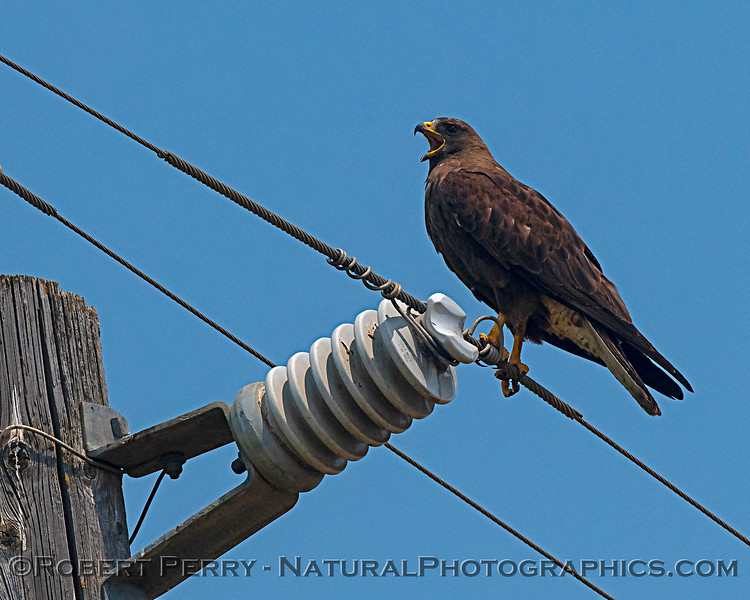 A loud Swainson's hawk who's cry carried a great distance across the ag fields.  A big raptor.