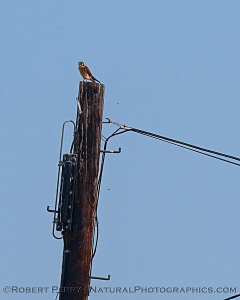 American kestrel. The little specks near the pole are dragonflies.