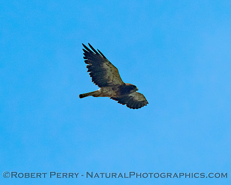Swainson's hawk - mid-altitude fly-by.