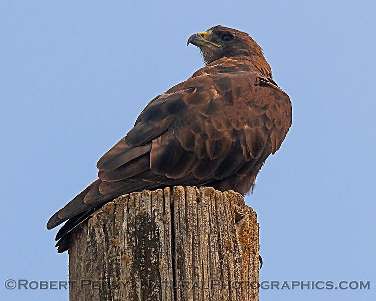 Swainson's hawk.