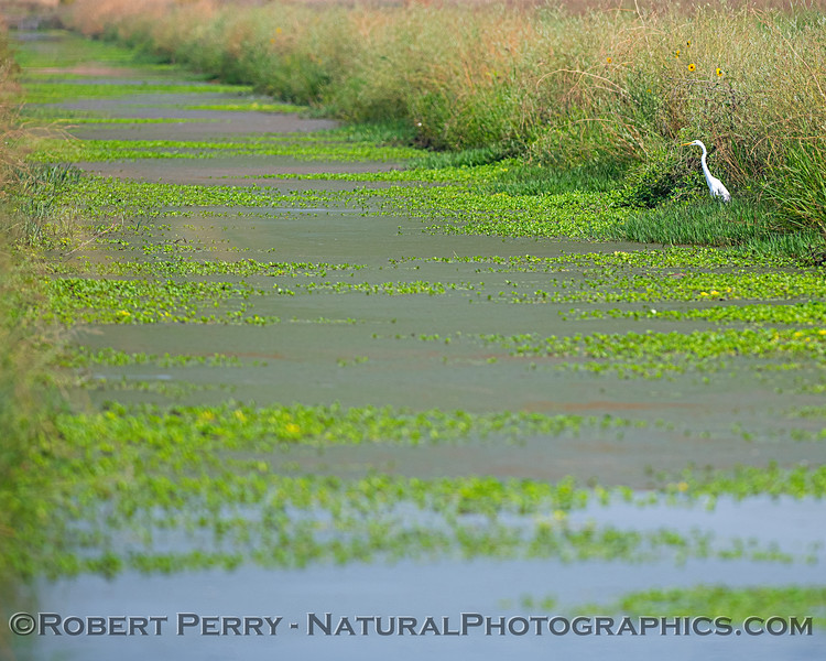 Great white egret at the edge of the slough