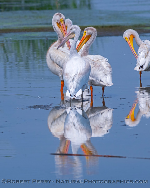 White pelicans rest in the shallow water.