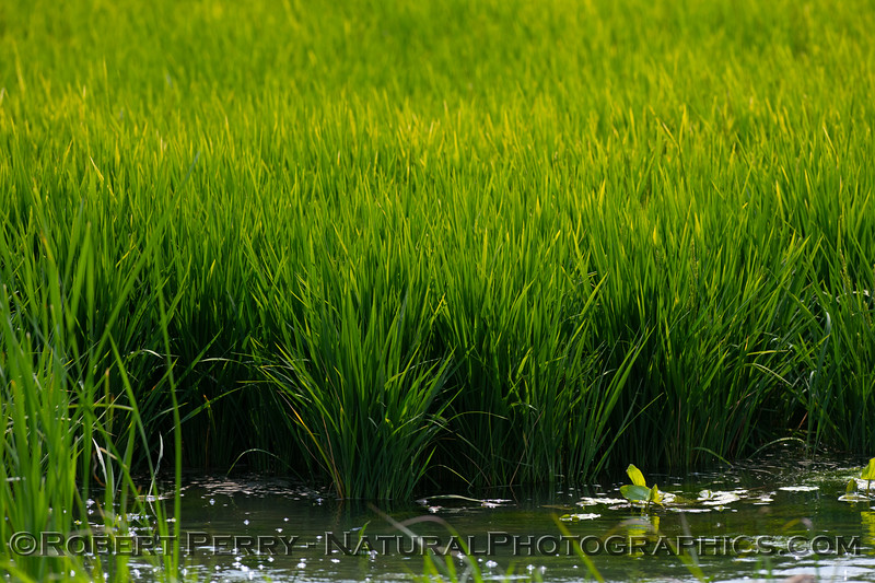 Healthy rice plants growing in the Delta water