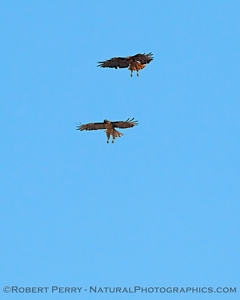 Red-tailed hawks interacting vertically on a thermal