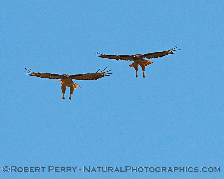 Red-tailed hawks, side by side