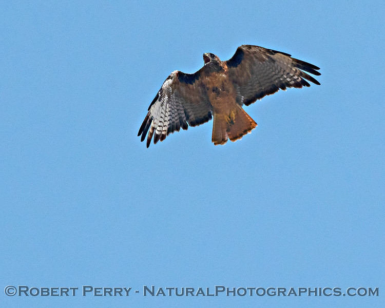 Red-tailed hawk - vocalizing.