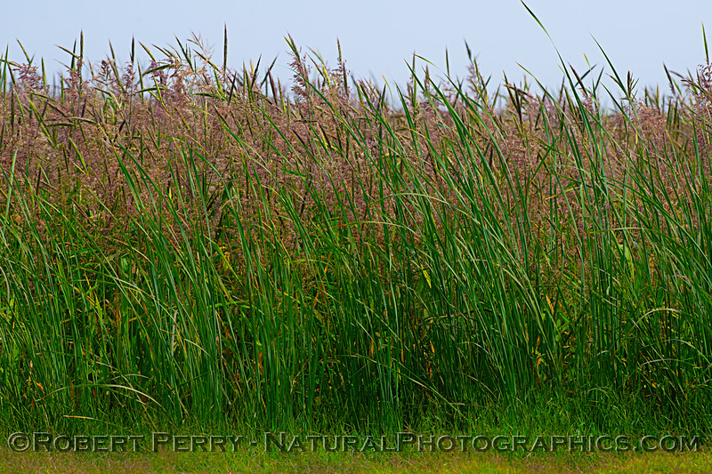 Heathy rice plants - mature.