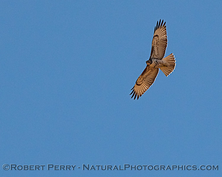 Red-tailed hawk passes overhead