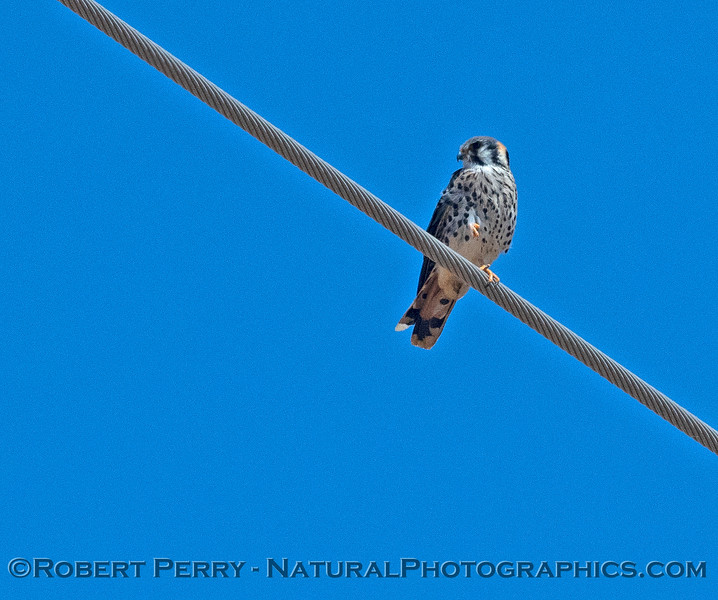 American kestrel on wire.