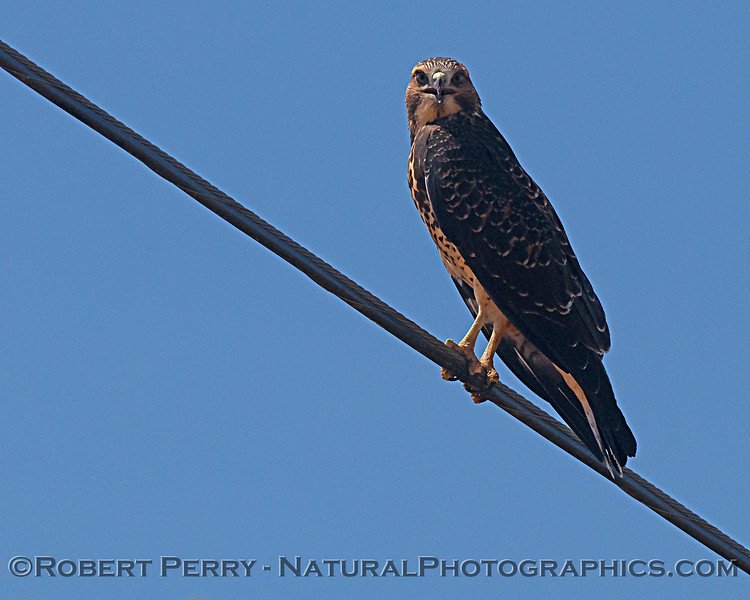 Swainson's hawk on wire.