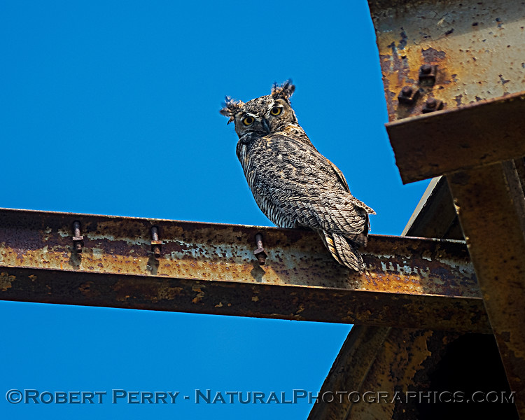 "Great horned owl sits on the ""back porch"" of its shelter, in the bright sun."