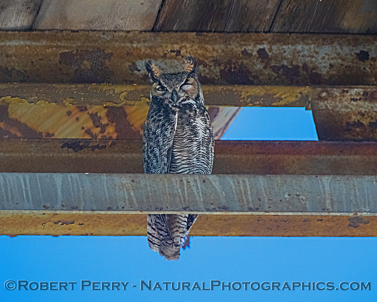 Great horned owl - winking at you