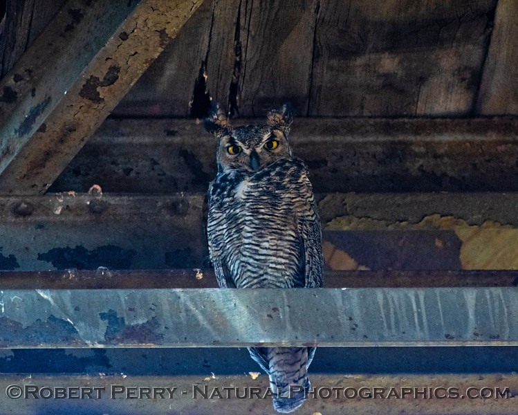 Great horned owl - perched in the deep shade.