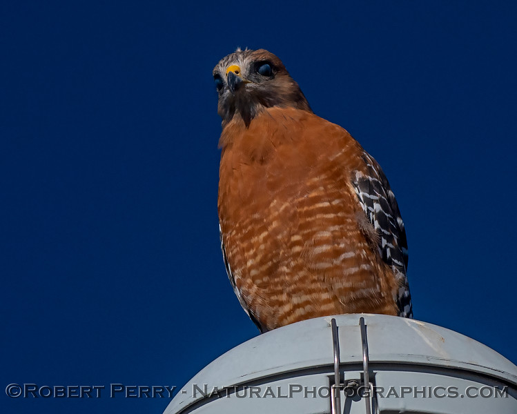 Red-shouldered hawk with nictitating membranes