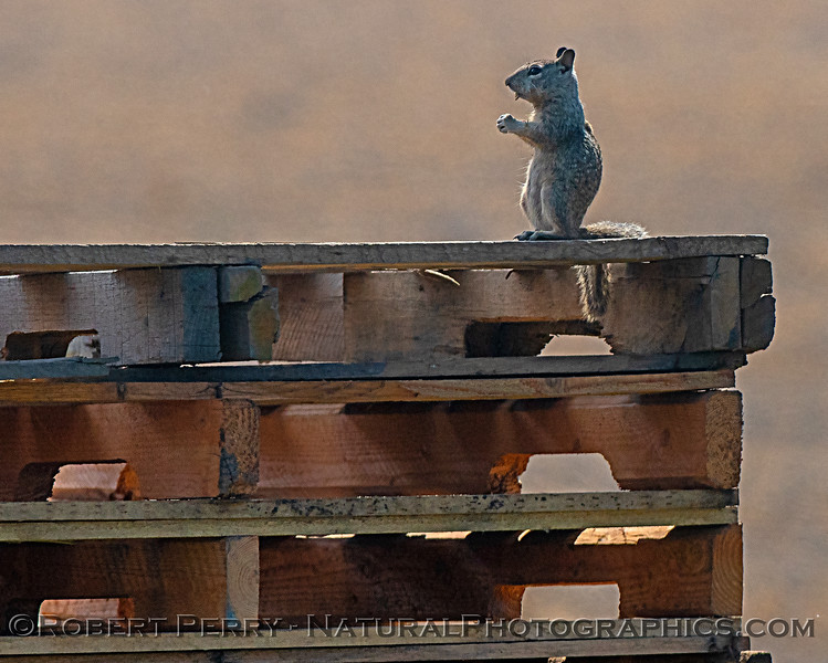Ground squirrel on a stack of wooded pallets