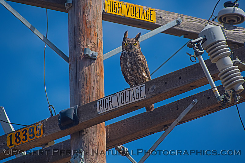 A 2nd Great horned owl - on a telephone pole.