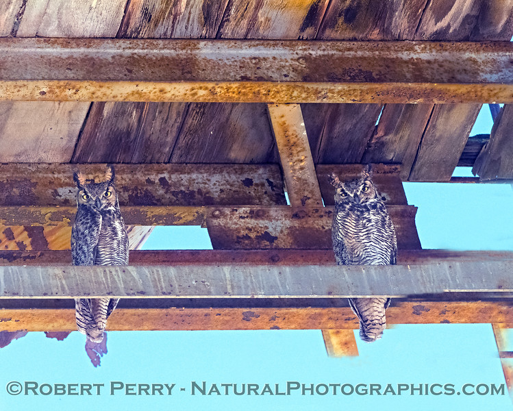 Pair of Great horned owls.