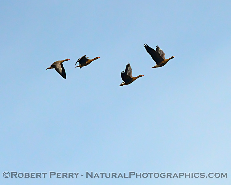 Greater white-fronted geese - first of the migrants to arrive!