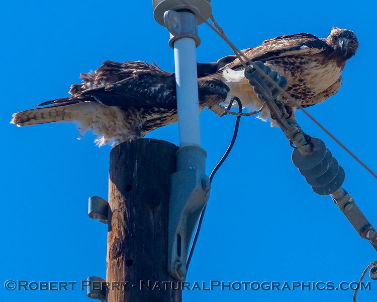 Two red-tails survey the situation