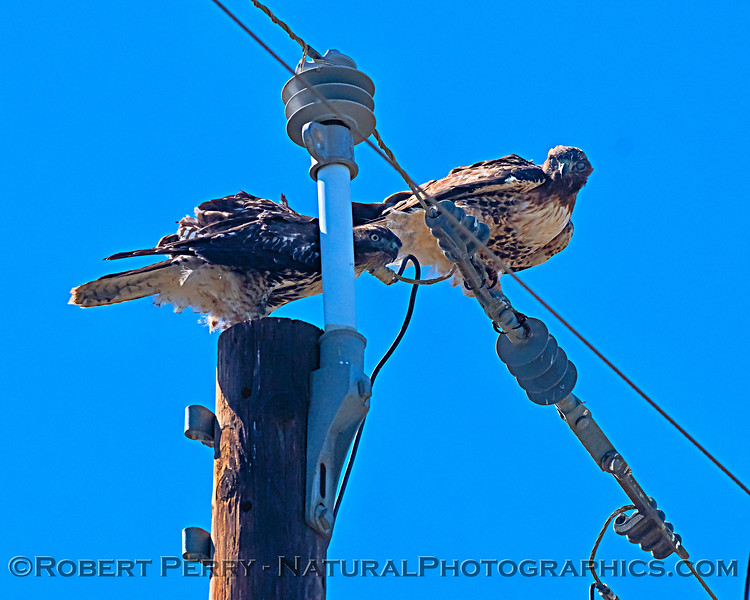 A pair of red-tailed hawks keep and eye on the photographer.  One has its nictating membranes covering the eyes.