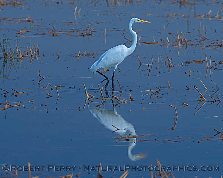 Great white egret reflecting