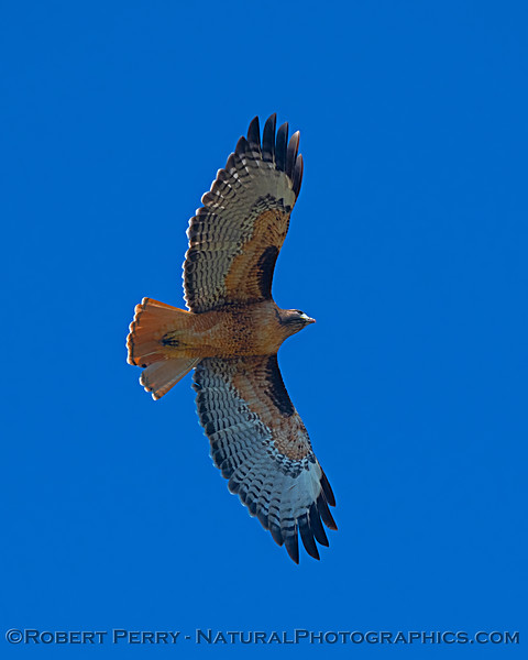 Nice wing coloration - red tail in flight