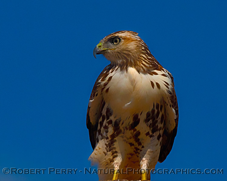 Profile portrait - juvenile red-tailed hawk.