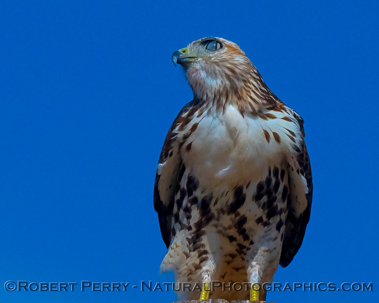 A young red-tailed hawk with its nictating membrane showing.