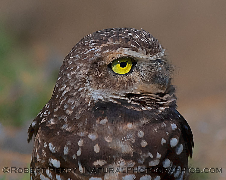 Close-up look at a burrowing owl.