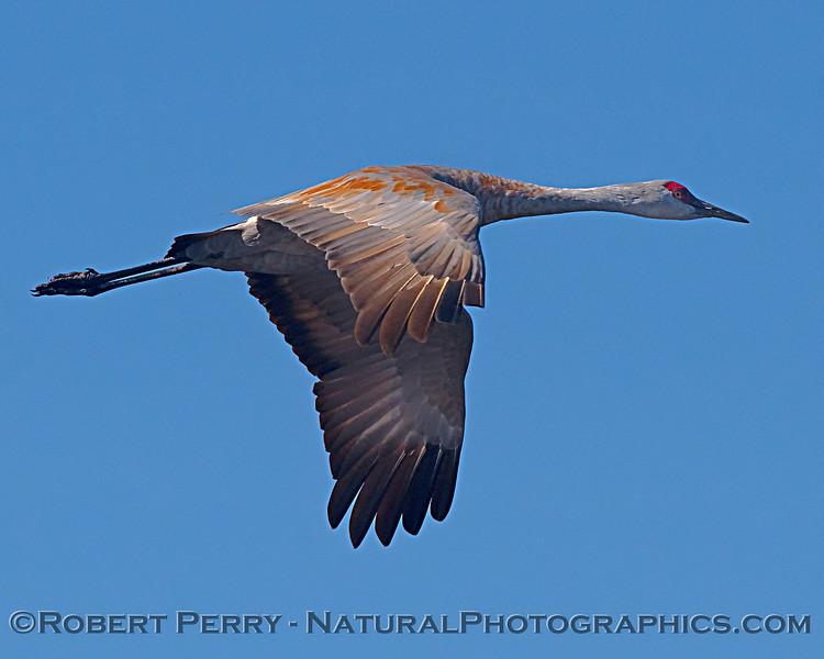 Sandhill crane.