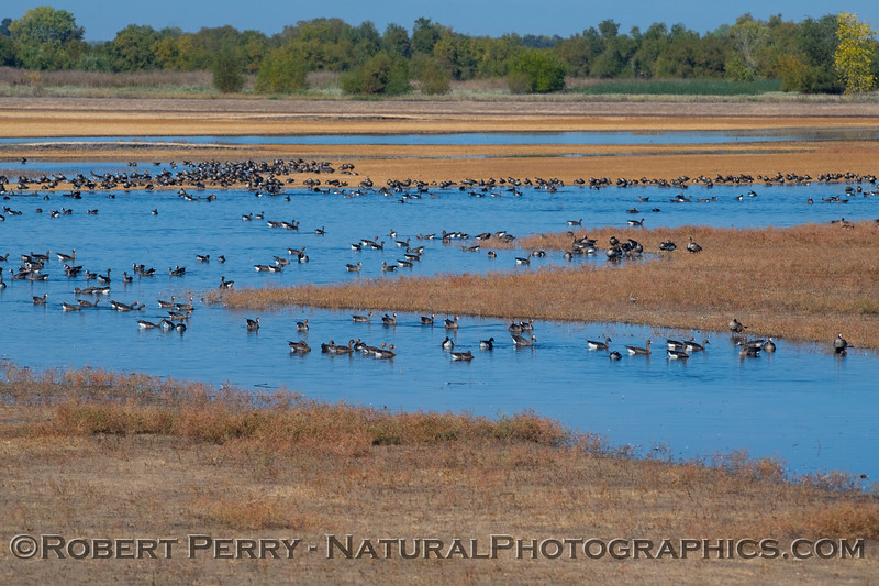 Wetlands scene - greater white-fronted geese