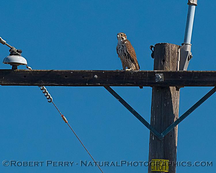 Prairie falcon (juv)