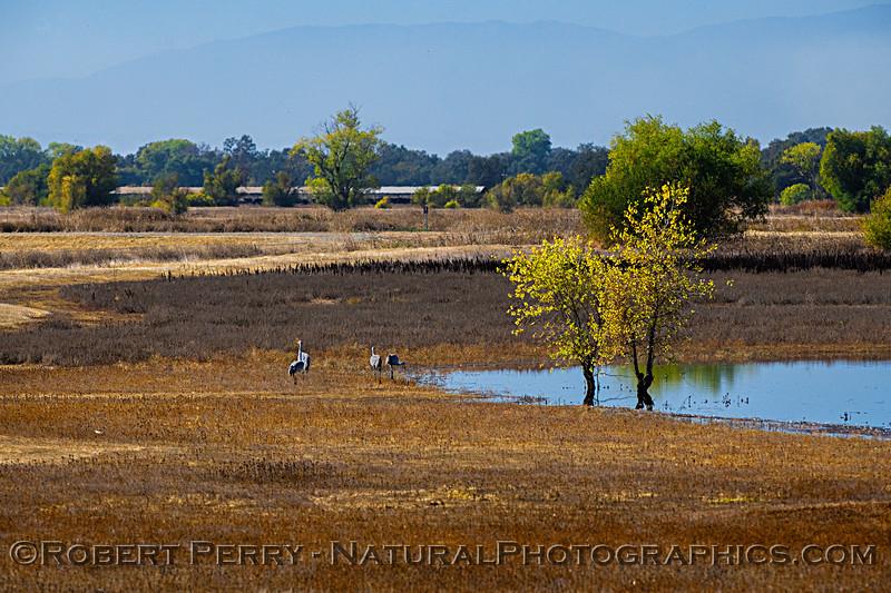 Wetlands scene - sandhill cranes